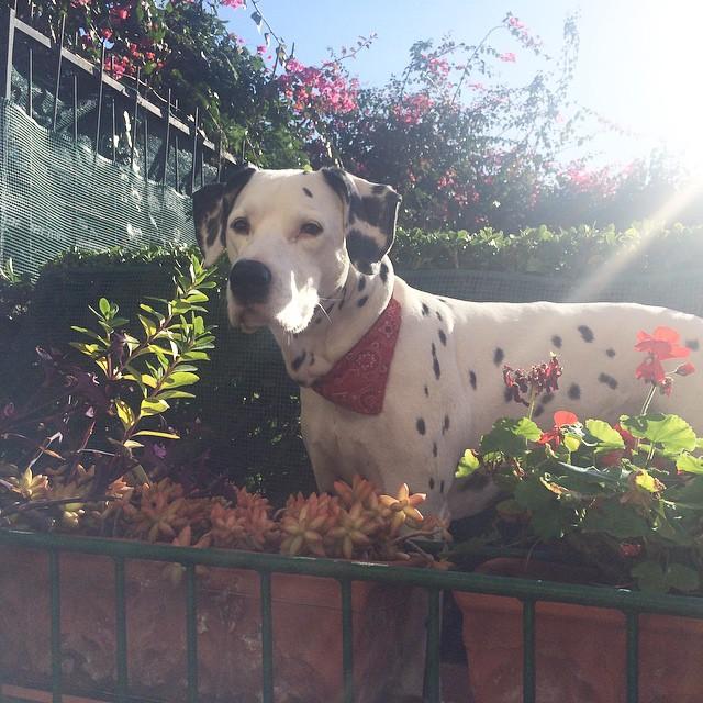 Ecco il padrone di casa Zagu!!! Haddy il monello!!! #haddymydog #dog #dalmatian #dalmata #love #zagufashion #fashionblogger #travel #igerscatania